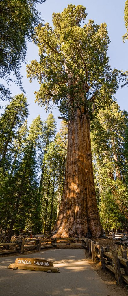 """A forest, the picture focuses on one tall tree with a long trunk and branches at the top that have rich green leaves. On the ground in front of the tree there is a path that reads """"General Sherman"""""""
