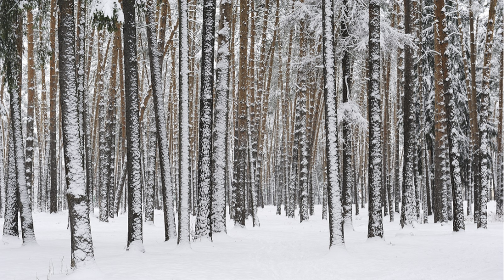 An image of many thin, tall trees covered in snow