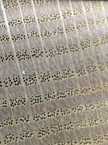 Cross Section of red oak shows the little dots in groups