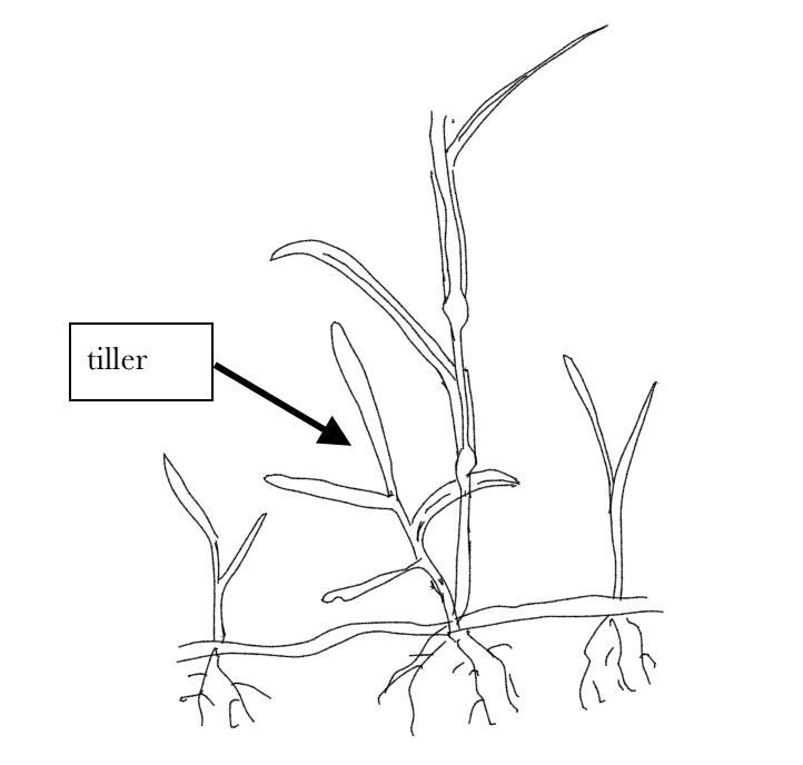 A black and white illustration of branches of grass growing off of bigger grass stems. The tiller is pointed out as two separate branches