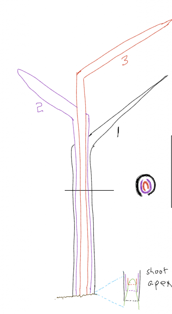 An illustration of shoot and apex of grass, including a cross-section