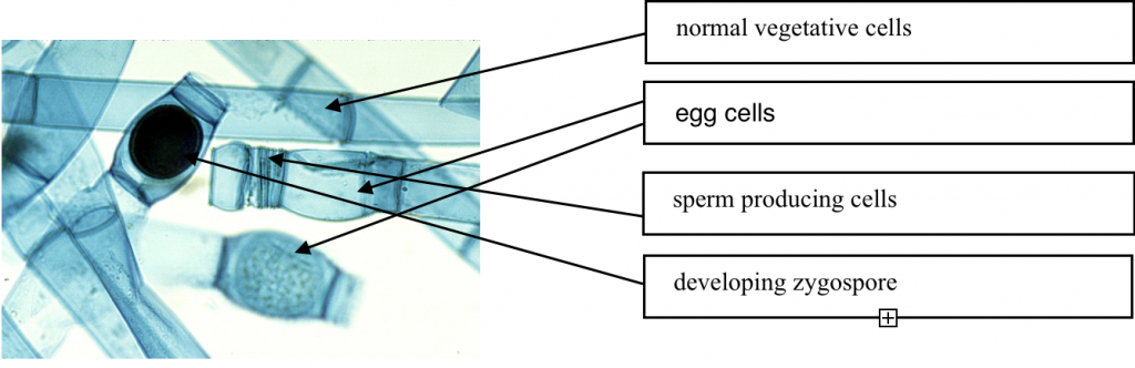 graph marking normal vegetative cells, egg cells, sperm producing cells, developing zygospore