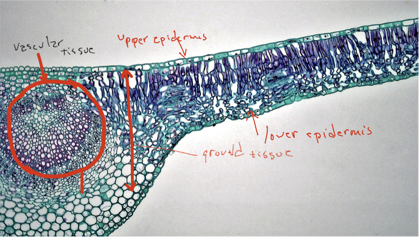 Image of cell with sections labeled: upper epidermis, lower epidermis, ground tissue, and vascular tissue