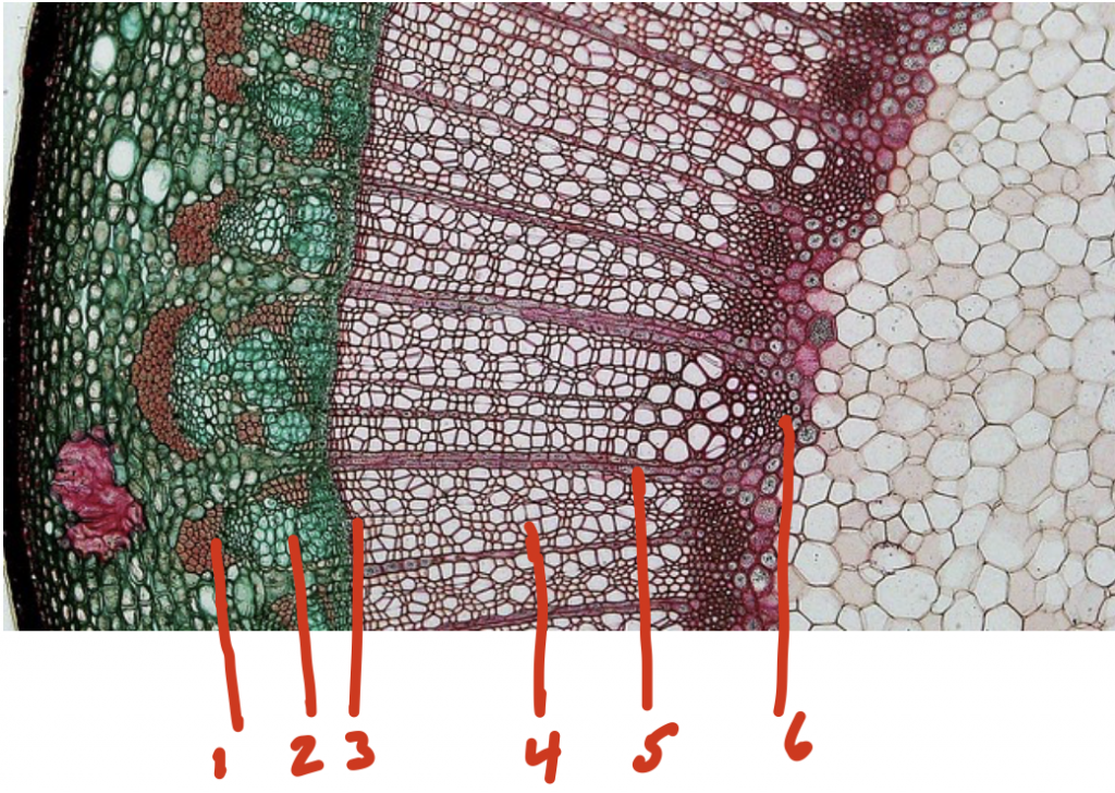 The inner most ring of the cross section is pale hexagonical shapes, then a dark maroon line that circles the inner section and leads to a pale section; the outer ring in dark green with some redder splotches