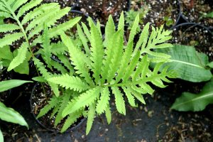 A closeup of a potted sterile sensitive fern, with pinnatfid yellow-green fronds