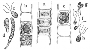 Diagrm marking the different elements in green algae Ulothrix's cells