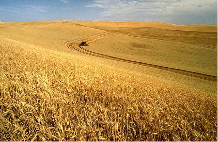 A tractor driving through a golden field of wheat, the tracks of the tractor indent the wheat