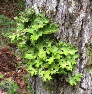 Lichen grows in a pattern similar to leaves growing on the bark of a tree