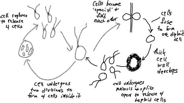 A diagram displaying the cycle of cells splitting four times over