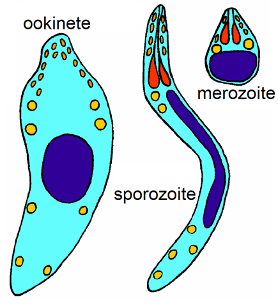 Three cells, farthest right is labeled ookinete and is biggest, the second is thin and long labeled sporozoite, the third is small and tear-drop shapped labeled merozoite
