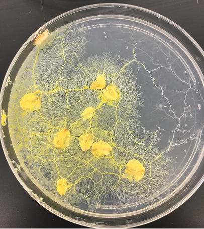 """Physarum growing on 4"""" petri dish with flakes of oatmeal for food, they are several yellow molds which have thin extensions stretching out like cracks"""