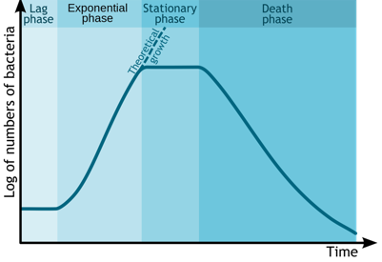 A graph displaying Log of numbers of bacteria over time, the graph has 1) lag phase with no increase 2) Exponential phase with quick increase 3) stationary phase with no growth and 4) death phase with a rapid decrease in number