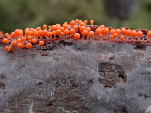 Small red fruiting bodies cluster on a slime mold