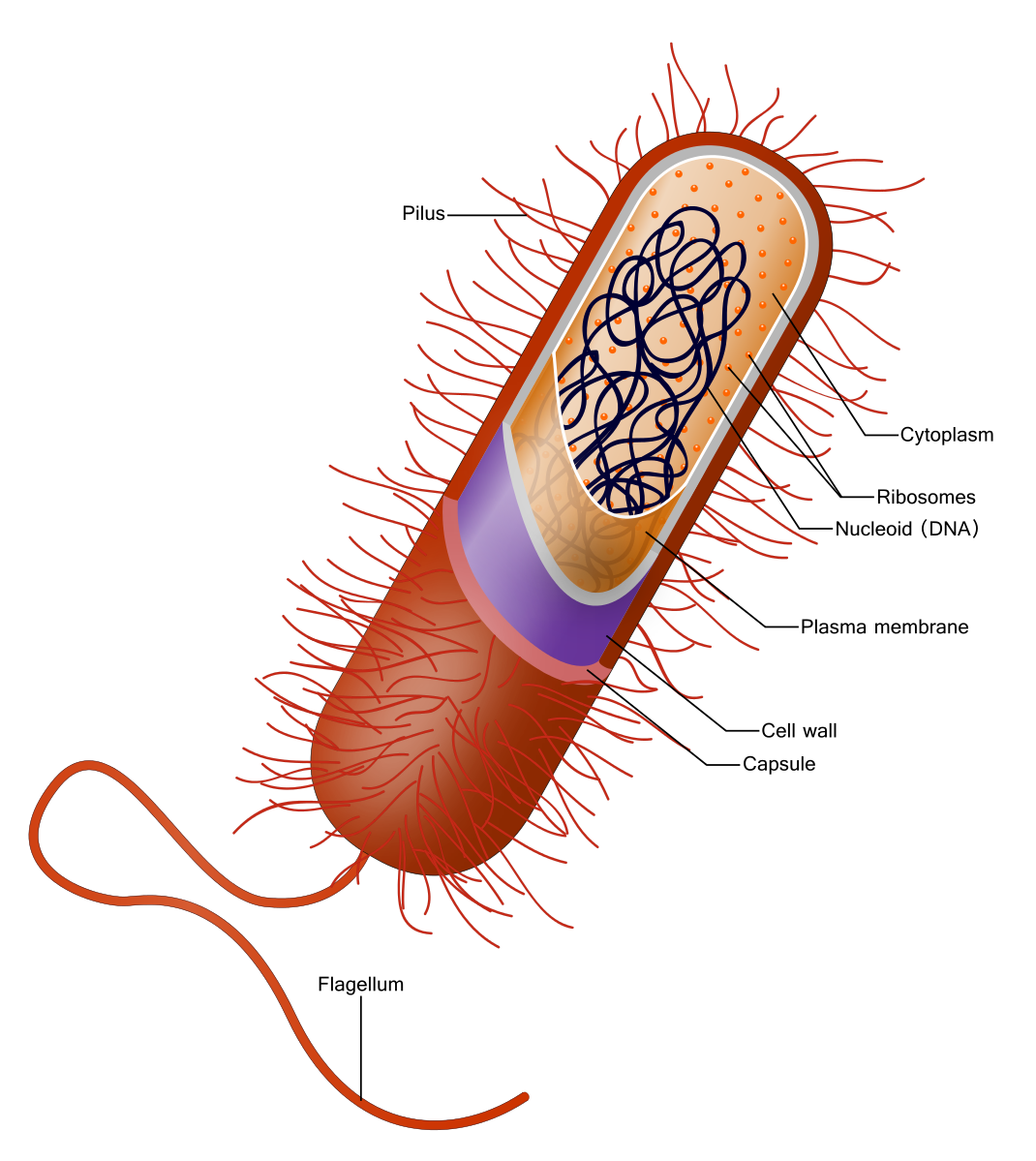 Red bacteria illustration marks each of the parts, internal and external, such as the whip tale (flagellum), the hair-like pilus growing off the surface, the capsule, cell wall, plasma membrane, nucleoid, ribosomes, and cytoplasm