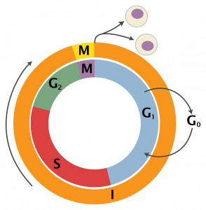 The cell cycle: the outer ring divides cellular activities into two phases, interphase and mitosis. The inner ring separates interphase into 'gap' or growth stages (G1 and G2) a synthesis (S) stage. During interphase a cell must acquire materials and synthesize molecules to be partitioned between the two daughter cells.