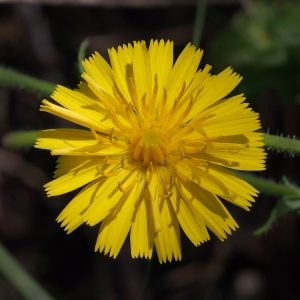 A close up of a yellow flower, with thin and long petals that end in several indents at their edges