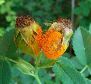 Bright orange rust on a rose that has yet to bloom