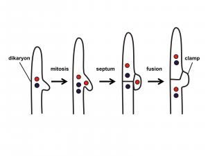 Diagram, shows 1) dikaryon 2) mitosis 3) septum 4) fusion 5) clamp