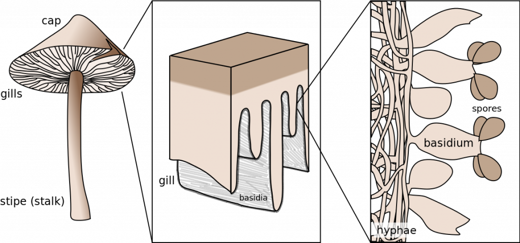 Basidium schematic shows the cap, gills (underside of the top), and stipe (stalk), along with a close zoom up of the gill showing the basidium and spores