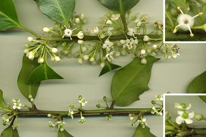 Holly plants, long stems with rich green leaves growing off of it every couple of inches, there is also a close up on the small four petal white flowers, and flowers with four stamen
