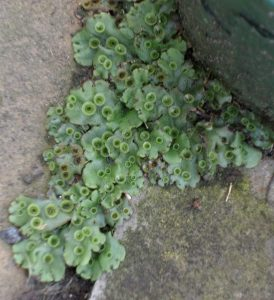 """Liverwort growing between rocks, some of the leaves look flat and have bunched edges, some grow in small coiled """"cups"""""""