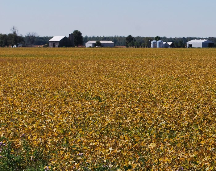 Soybean field, there are many yellow leaves that block any view of the ground