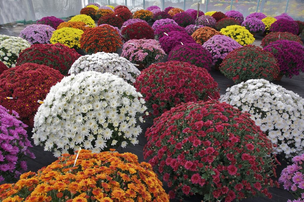 Groups of potted chrysanthemum: white, red, orange, purple, pink, and yellow