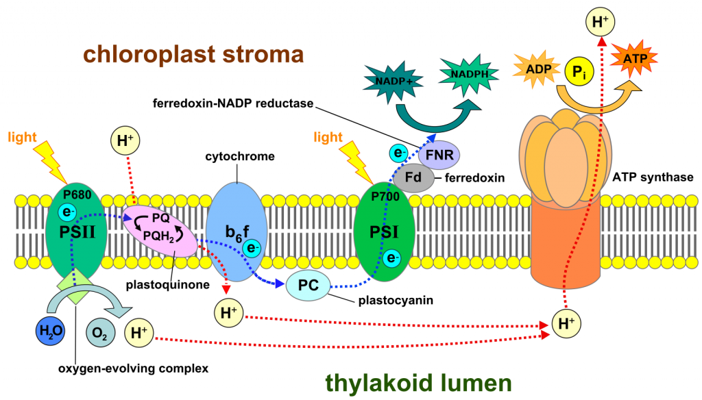 Chloroplast stroma shows the different activities happening in the cells