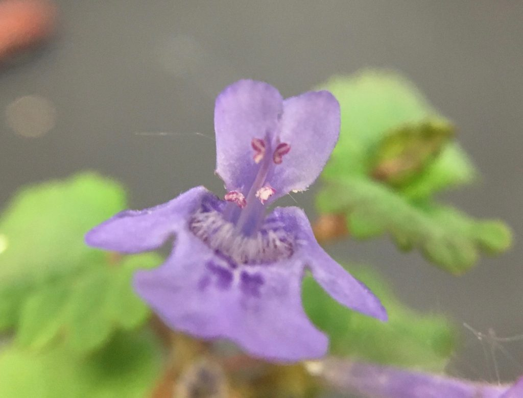 A non radially symmetrical purple flower which has four fused pistils