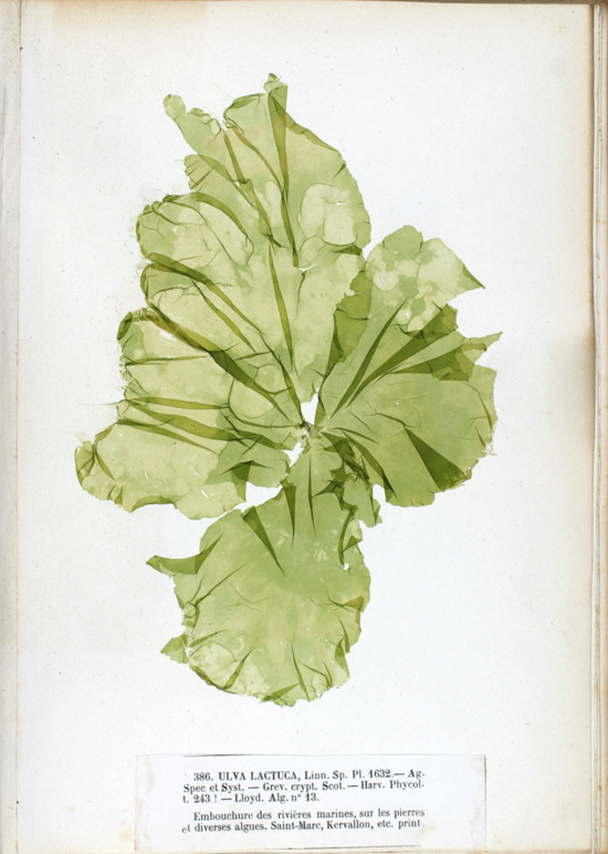 Photo of Ulva lactuca, the leaf is thin and transluscent green, with many folds a ragged edges
