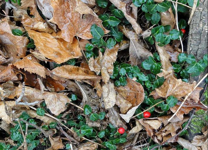 Berries growing amidst live dark green leaves and dead brown leaves