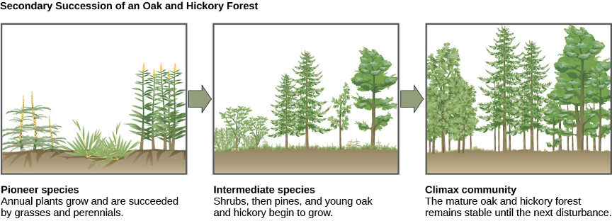 Illustration of secondary succession. 1) Pioneer species: annual plants grow and are succeeded by grasses and perennials 2) Intermediate species: Shrubs, then pines, and young oak and hickory begin to grow. 3) Climax community: The mature oak and hickory forest remains stable until the next disturbance.