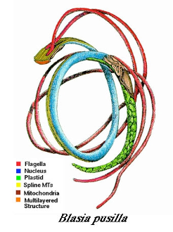 spermatozoids which look similar to long, rope-like, strings circled together. The thinest lines, flagella, are red, and there is a thicker blue and green elements that are the nucleous and plastid of the spermatozoid