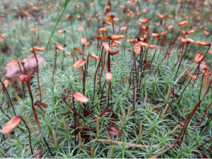 Red, mature sporophytes grow our of green, leafy moss, with smaller, immature tan sporophytes also growing