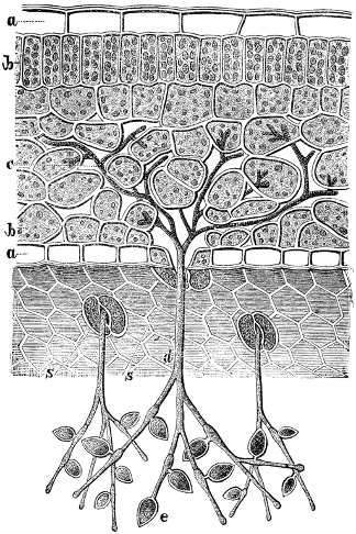 Diagram of a plant cell wall, a rigid cellulose, being penetrated by the parasite phytopthora, which looks like a budding stem on the outside with roots extending into the cells