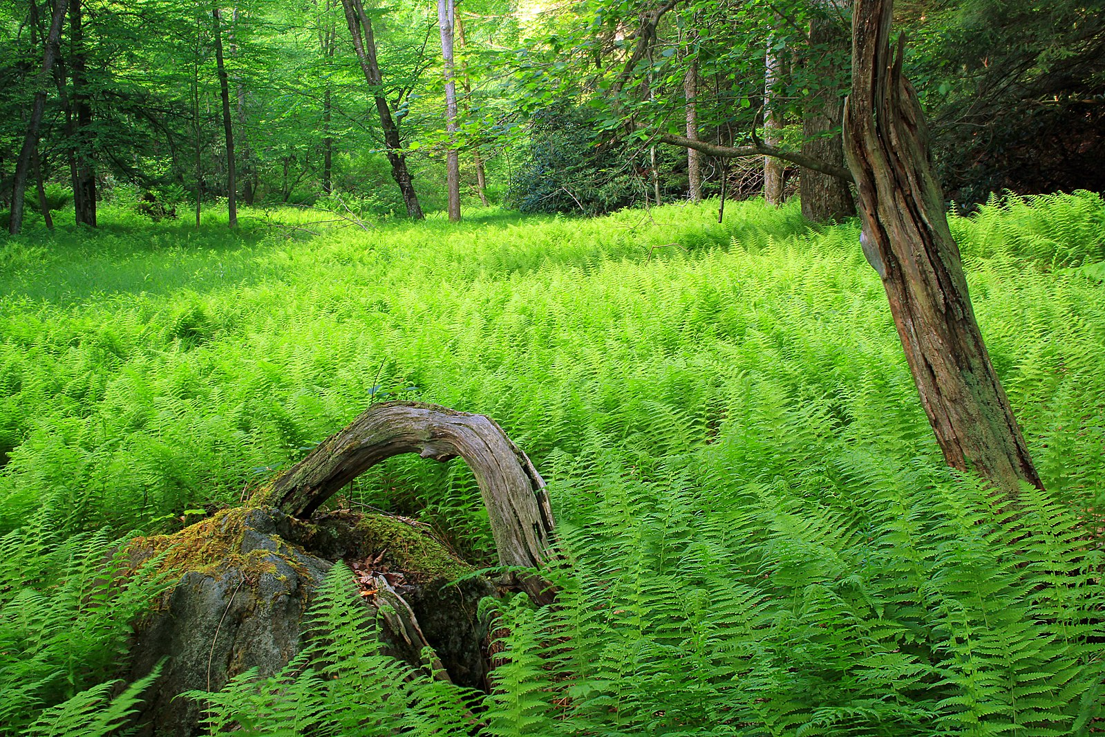 Ferns grow completely along the floor of a wood, several trees grow out from below the moss to above