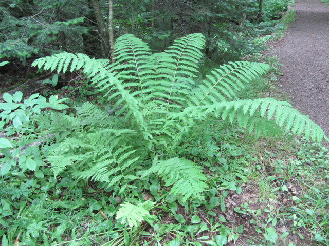 A large Cinnamon fern with many broad leaves growing out from the thin branches