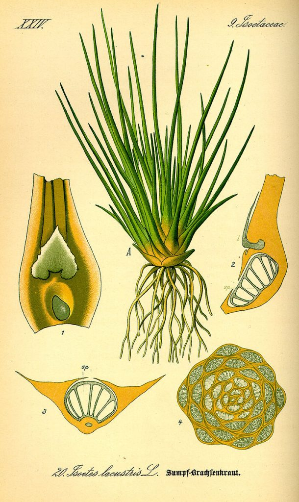 Ilustrative diagram labelling its different parts of quillwort