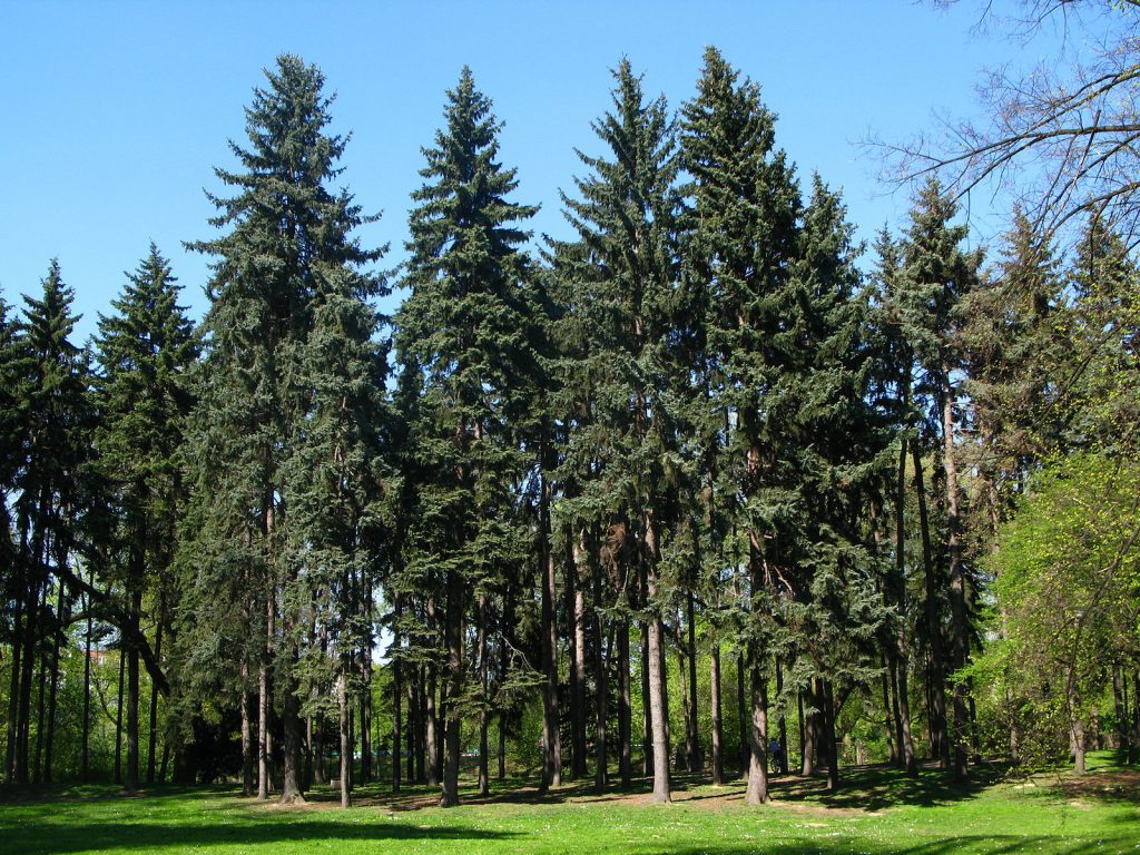 A group of blue spruce with the typical evergreen, needle thin leaves