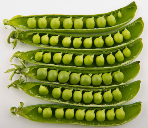 A closeup of six green peapods with peas in them