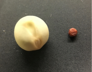 Round white pea seed which is several times larger than the smaller, red seed on the left