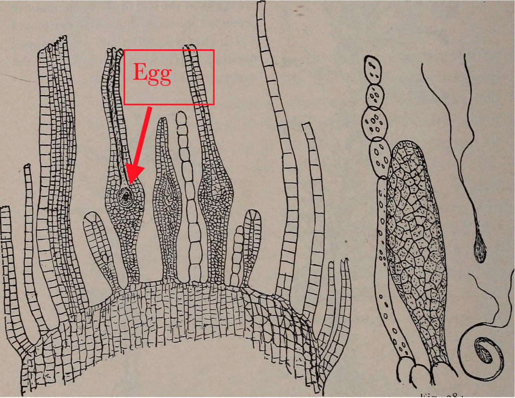 cross section of Antheridium of milium with the egg pointed out in one of the archegonium