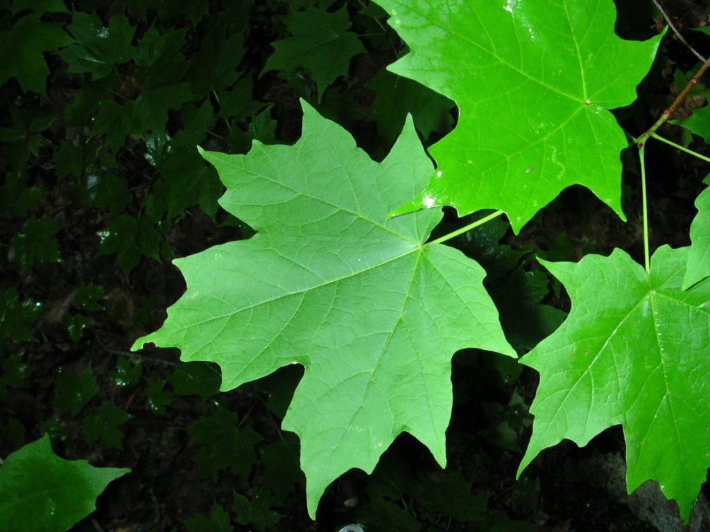 three green sugar maple leaves