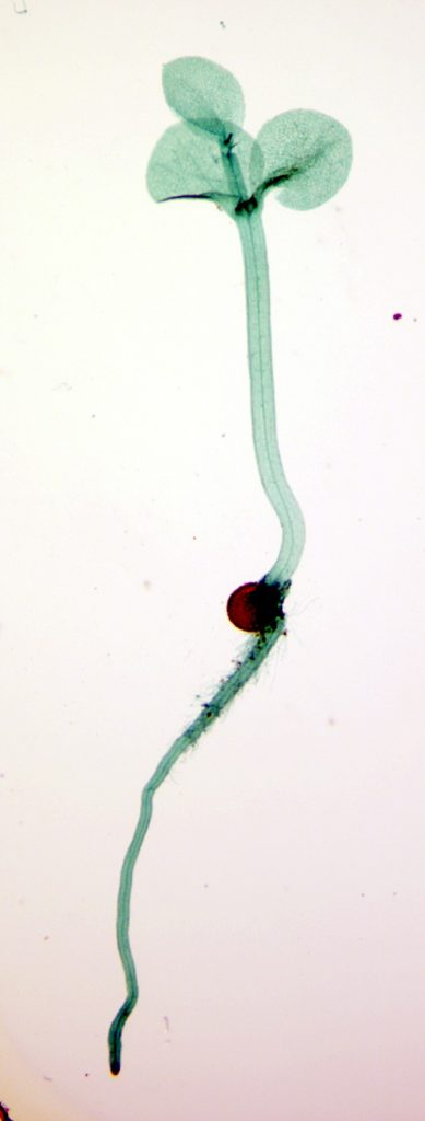 A microscopic image of a green root and sporophyte that emerges from a brown megaspore
