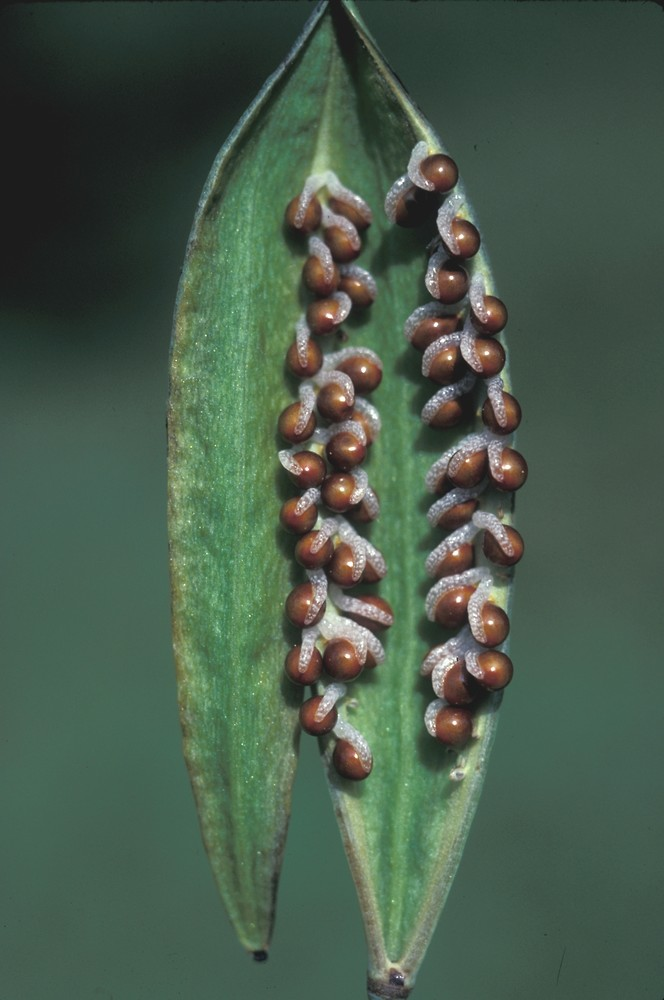 two pods with seeds