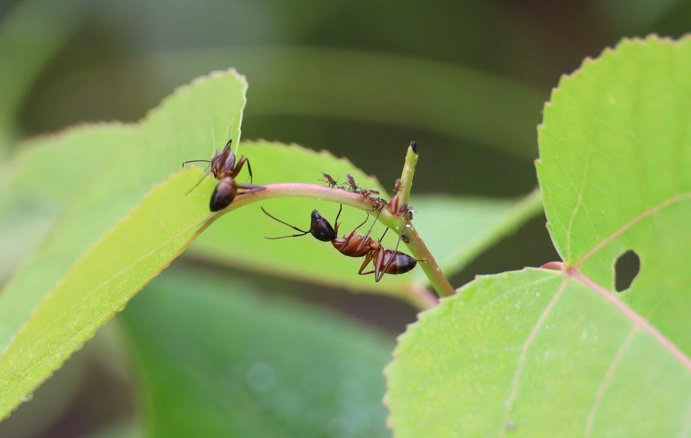 Ants crossing from one leaf to another