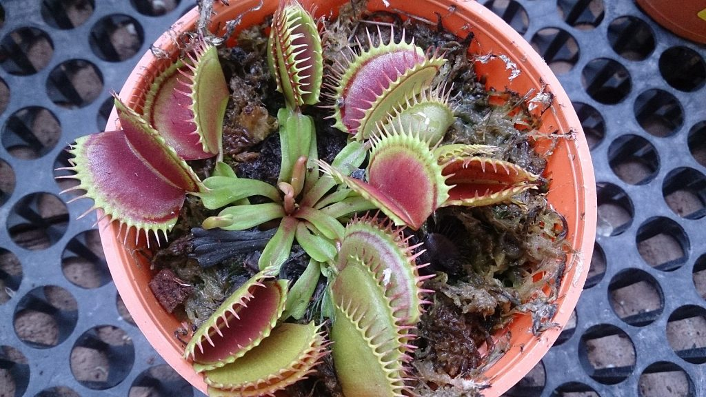 Venus fly trap with many heads in a red pot viewed from above