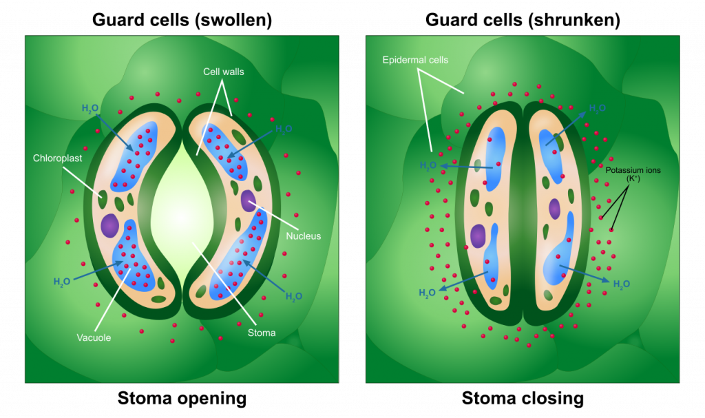 Opening and Closing of Stoma. As K+ levels increase in the guard cells, the water potential of the guard cells drops, and water enters the guard cells