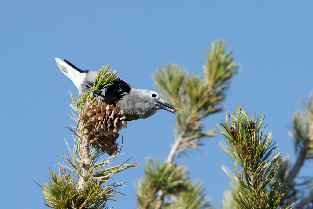 Clark nutcracker bird perched on the branch of a tree with a pinecone on it