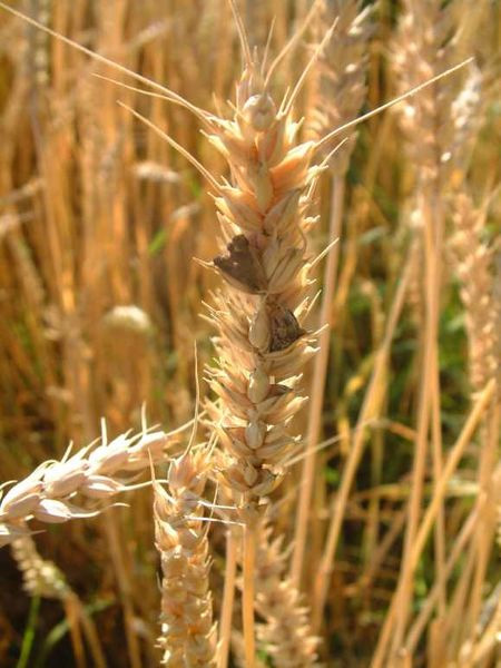 a close up of a wheat